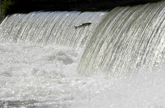 salmon-ulla