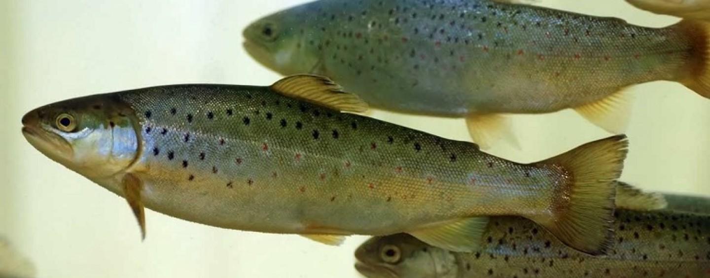 ¿Conoces las diferencias entre el reo y la trucha y alevín de salmón?