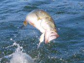 Pesca de black bass con crankbaits en otoño
