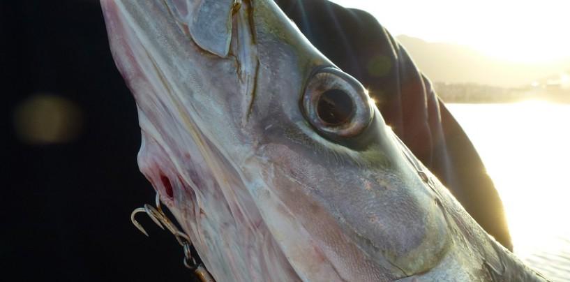 Pesca de espetones a spinning embarcado, cómo pescarlos a pleno día