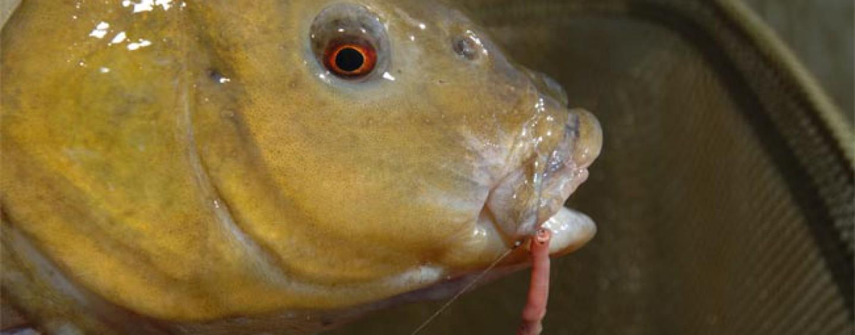 Cebos para la pesca de tencas: qué funciona mejor y por qué