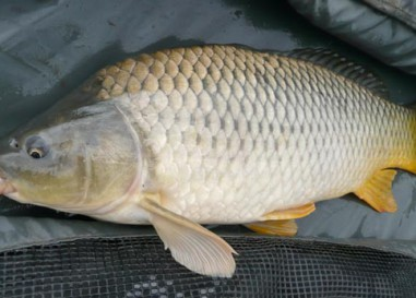 Cómo pescar grandes carpas en aguas poco profundas