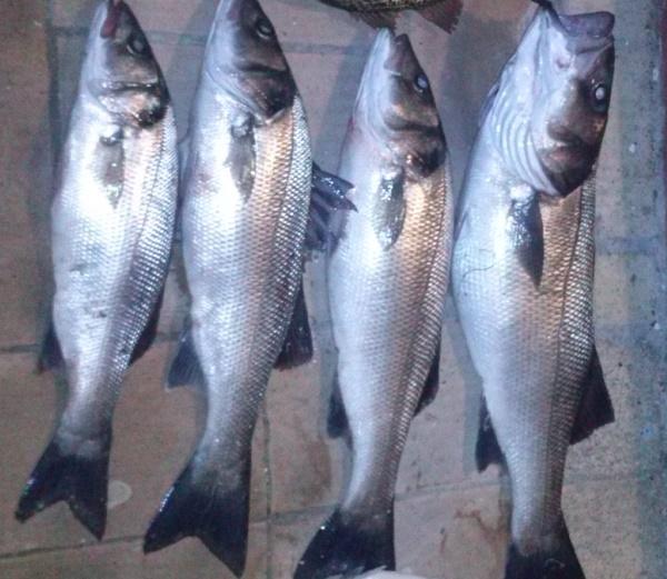 pesca de lubinas en el guadiana