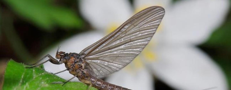 Los bétidos, otras moscas clásicas e indispensables en el arranque de temporada y…. el resto