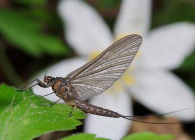 Los bétidos, otras moscas clásicas e indispensables en el arranque de temporada y…. toda la temporada