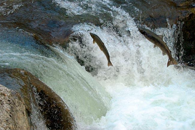 salmon-remontando-sella