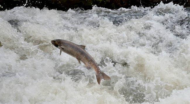 salmon-remontando