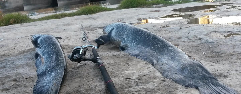 Que equipo utilizar en la pesca de siluro al lance desde la orilla