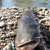 ¿Prohibir la pesca para eliminar el Siluro? Una decisión polémica y con poco sentido