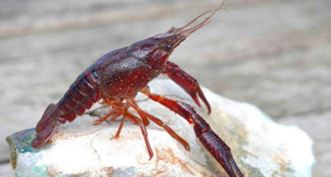 cangrejo-rojo
