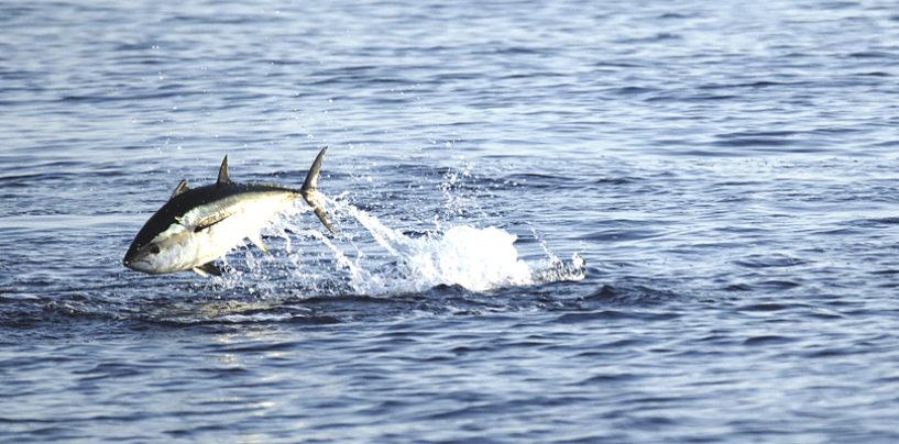 Como, donde y cuando practicar la pesca del atun rojo