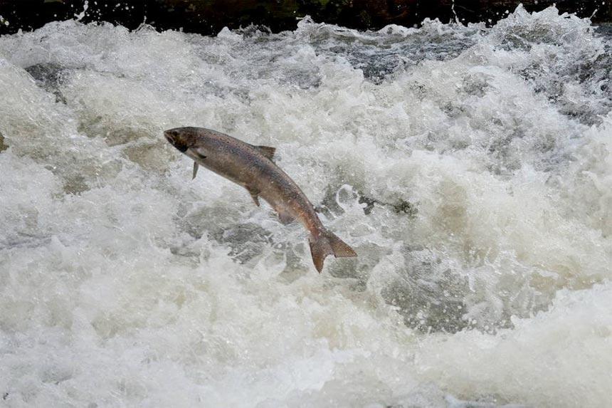 remonte-salmon-bidasoa