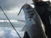 Vídeo de pesca: El chivo un clásico para la pesca de lubinas