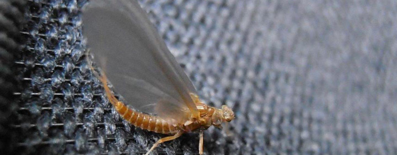 Ephemerella Ignita, la clásica mosca de verano que no debe faltar en los últimos días de temporada