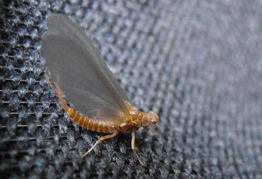 Ephemerella Ignita, una clásica mosca de verano que no debe faltar en los últimos días de temporada