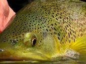 Vídeo de pesca: Pesca a mosca en verano