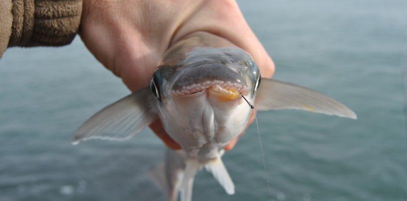 Pesca de la llisa o mújol, polivalente y divertida