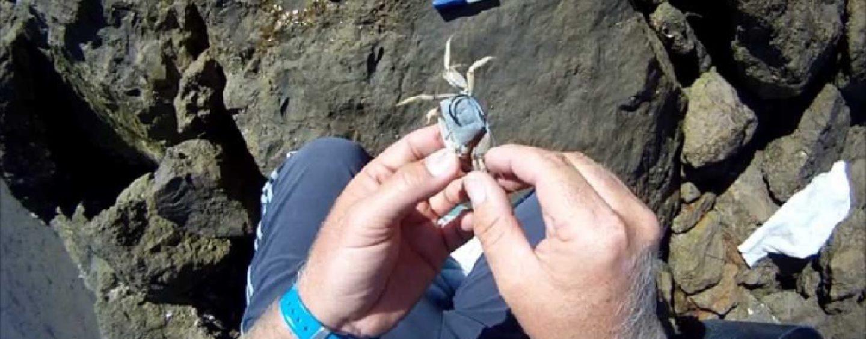 Pescar con calavereta o cangrejo de arena, un cebo perfecto para las doradas