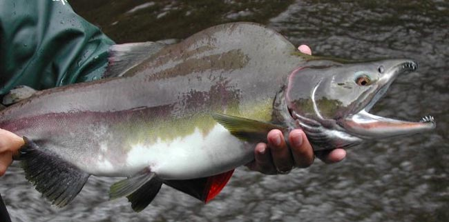 salmon-rosado