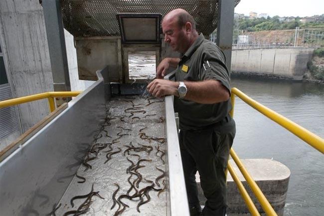 anguilas-frieira
