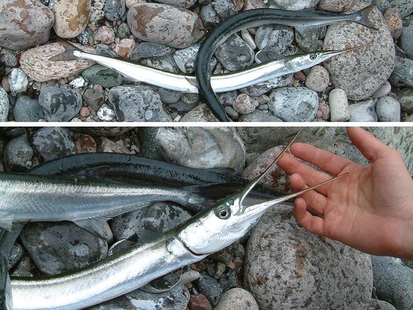 pesca de agujas en otoño a spinning
