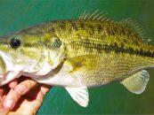 Pesca de Black Bass con técnica drop shot