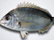 La pesca del esparrallón, el más humilde de los sargos.