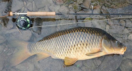 carpa-pesca-mosca