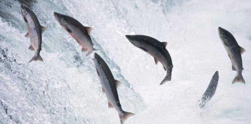 El falso mito de la abundancia del salmón en el pasado