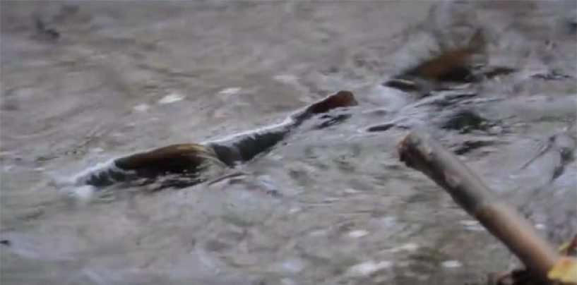 Vídeo de pesca: disfrutando del desove de la trucha