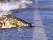 Vídeo de pesca: ¡Espectacular! Salmones que cruzan una carretera para remontar