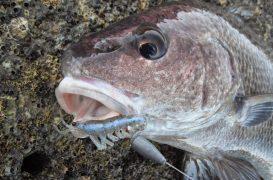 La pesca de la corva, deseada para los amantes de la pesca en roquedos