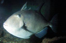La pesca del pez ballesta: Una excelente y divertida opción para el verano