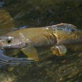 Destinos de pesca: Río Ybbs, el paraíso austriaco del tímalo