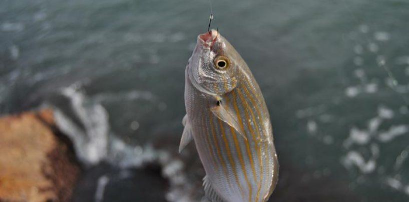 La hierba, ova o lechuga de mar: un manjar para las salpas