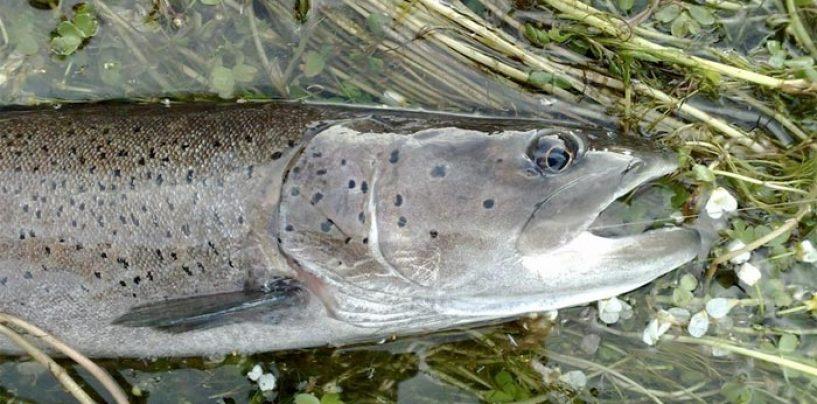 Dónde puedes pescar el Hucho en Europa