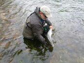 Sobre la desapercibida y criticada apertura de la temporada de la pesca de salmón sin muerte en Asturias