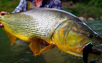 En busca de el dorado: pesca del depredador más deseado de Sudamérica