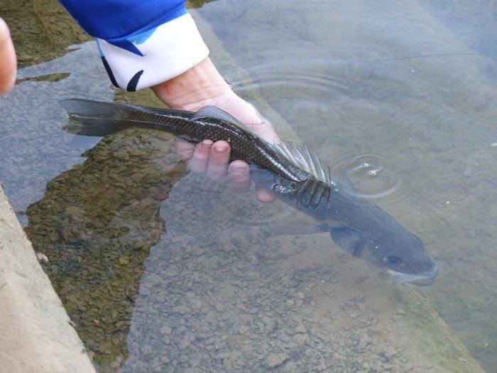 pesca de lubinas captura y suelta