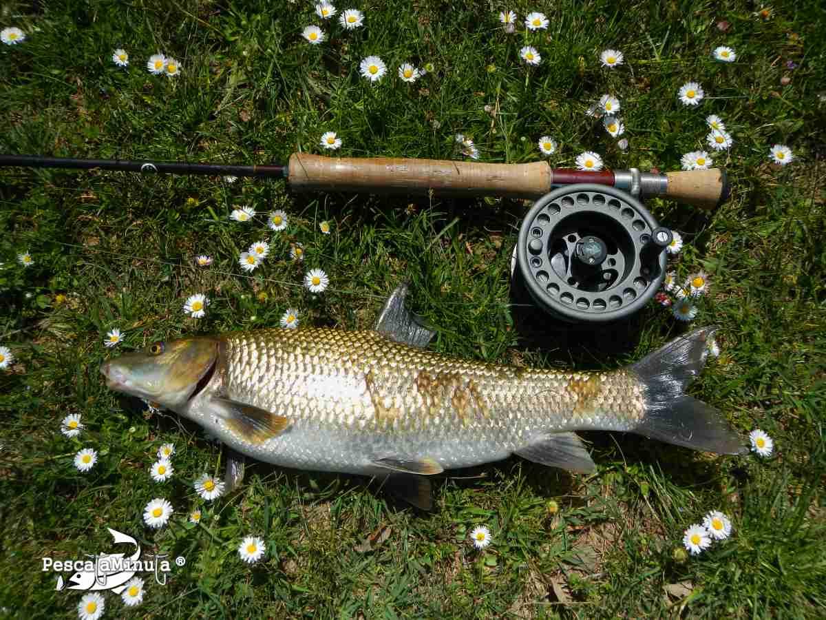 pesca-del-barbo-a-mosca