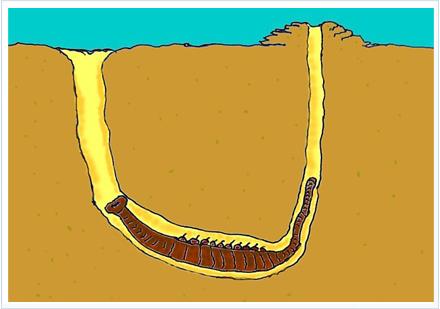 El gusano arenícola