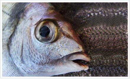 La pesca del sargos y  otros espárido