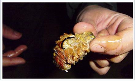 Cangrejo utilizado como cebo