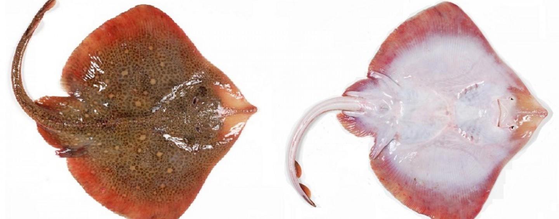 La pesca de la raya, una captura excepcional