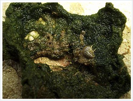 pesca de carpas con flotador con algas