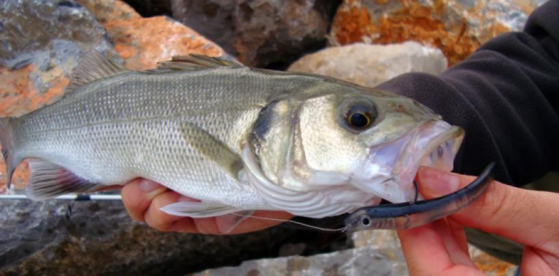 ¿Pescar lubinas con mini señuelos? ¡Claro! ¿Por qué no?