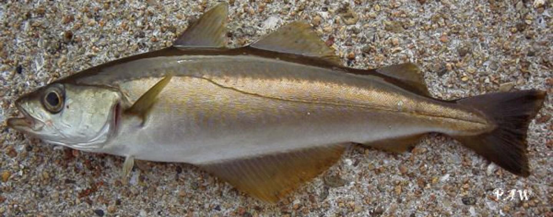La fiebre del oro, introducción a la pesca del abadejo