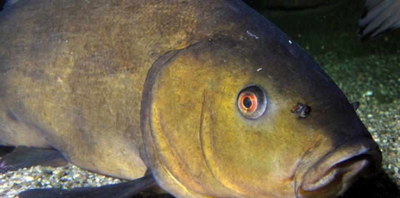 Consejos para la pesca de la tenca