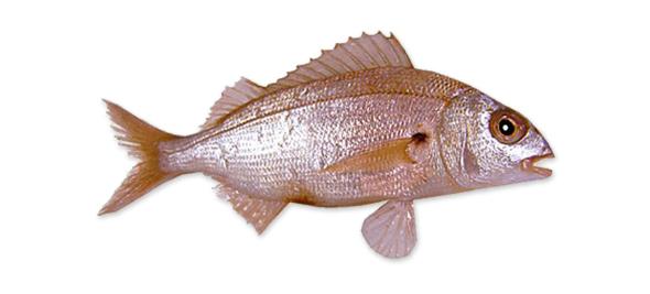 Consejos para la pesca del aligote