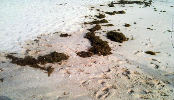 Las algas pueden dificultarnos las cosas a la hora de pescar doradas.